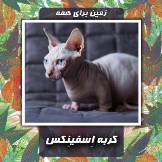 گربه اِسفینِكس