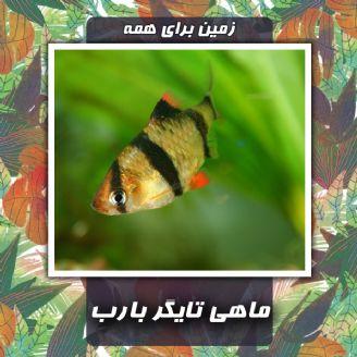 ماهی تایگر بارب