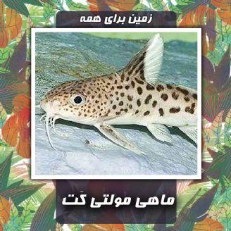 ماهی مولتی كَت