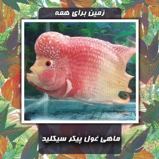 ماهی غول پیكر سیكلید